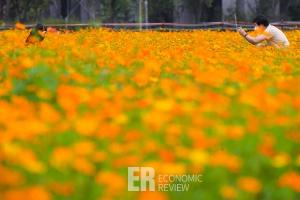 [Story 포토] 고양시  '코스모스 꽃밭', 코로나 스트레스 풀고가세요